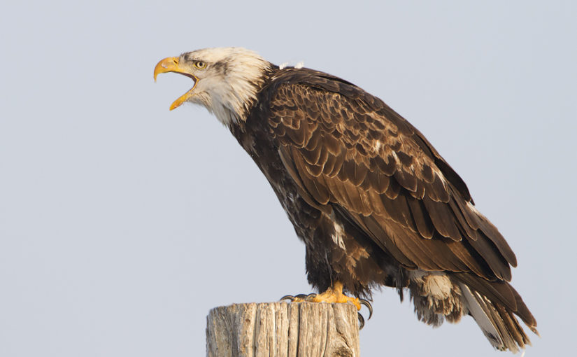 The bald eagle's head is covered with white feathers. So why is it called the bald eagle?